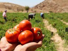 گوجه فرنگی بخورین زیرا ...